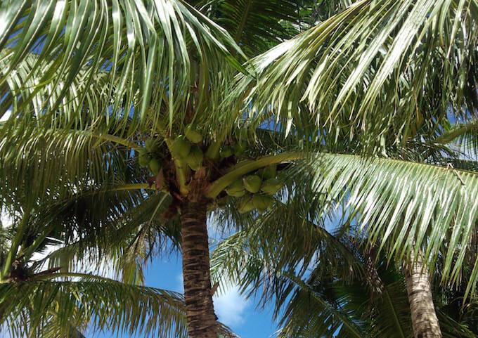 ココス島のヤシの実