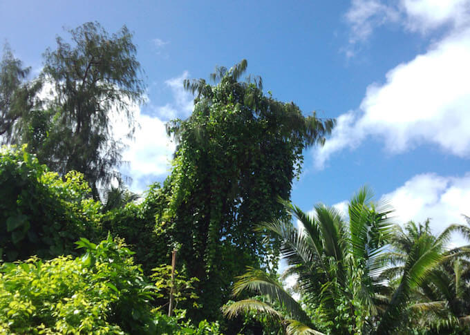 ココス島の遊歩道の木々
