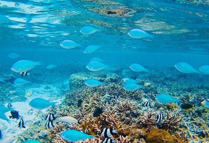 イパオビーチのサンゴ礁とスズメダイ